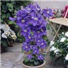 Pair Boulevard Patio Clematis on 60cm Trellis - Blue & Pink