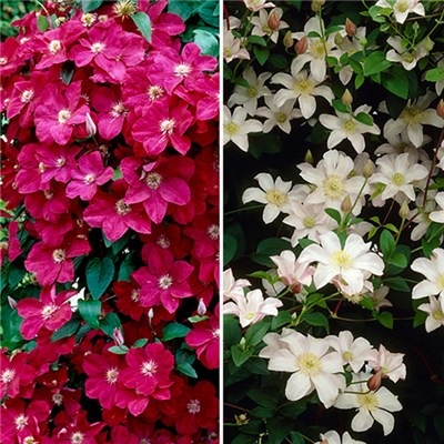 Boulevard Patio Clematis on 60cm Trellis Red & White (Pair)