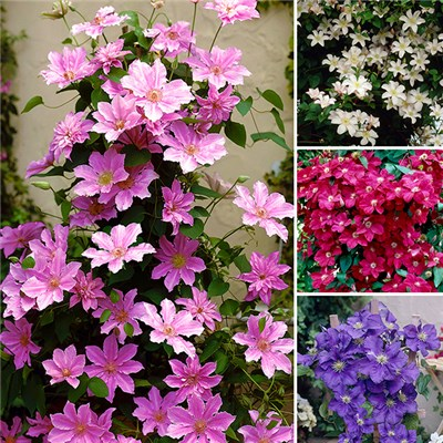 Boulevard Patio Clematis on 60cm Trellis (4 Pack)