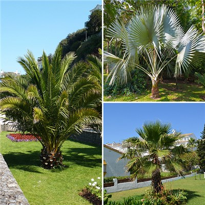Hardy Palm Collection 14cm (3 Pack)