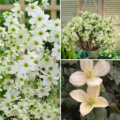Evergreen Hardy Clematis Collection 9cm Pots (3 Pack)
