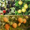 Organic Berry Fruit Garden - Raspberry, Gooseberry & Blackberry in 13cm Pots