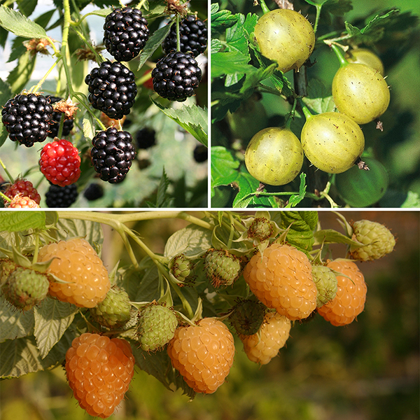 Organic Berry Fruit Garden - Raspberry, Gooseberry & Blackberry in 13cm Pots No Colour