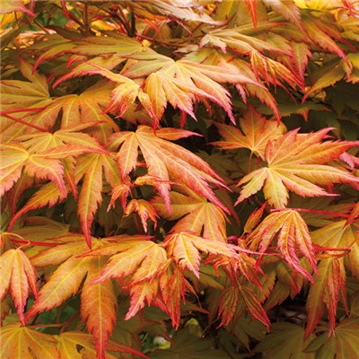 Acer 'Orange Dream' 3L Pot