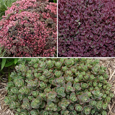 Sedum Sunsparkler Groundcover Collection 9cm Pots (3 Pack)
