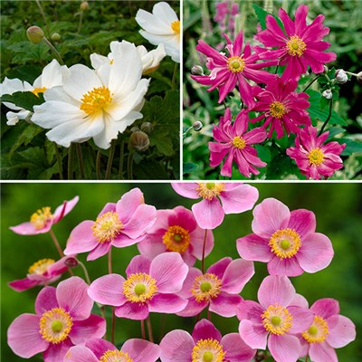 Hardy Japanese Anemone Garden Ready Plants (3 Pack)