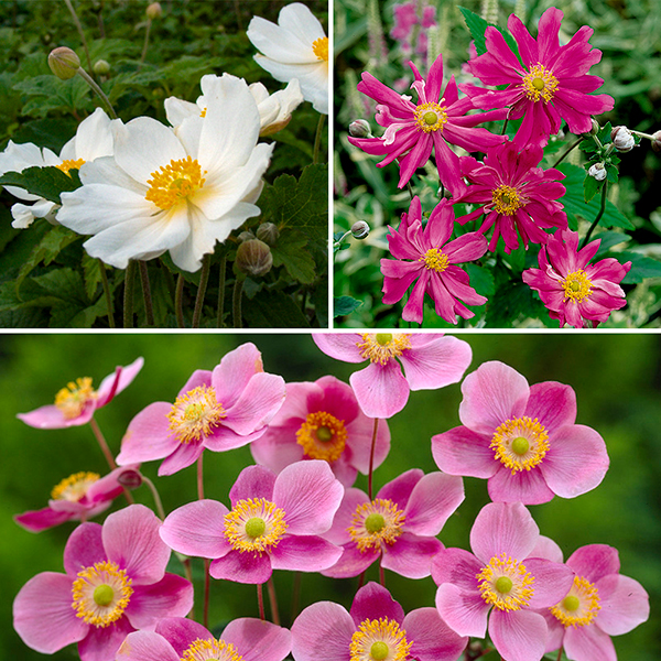 Hardy Japanese Anemone Garden Ready Plants (3 Pack) No Colour