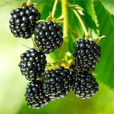 Blackberry Collection 9cm Varieties for Long Season Harvest (3 Pack)