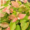Pink-Leaved Bueberry Flamingo 2L