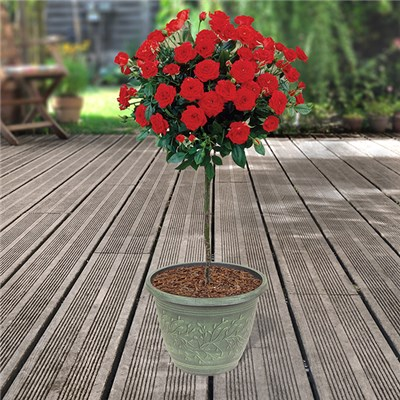 Red Half Standard Roses 80cm & Linden Planters (Pair)