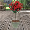 Pair Red Half standard Roses 80cm & Linden Planters