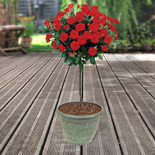Red Half Standard Roses 80cm & Linden Planters (Pair) No Colour