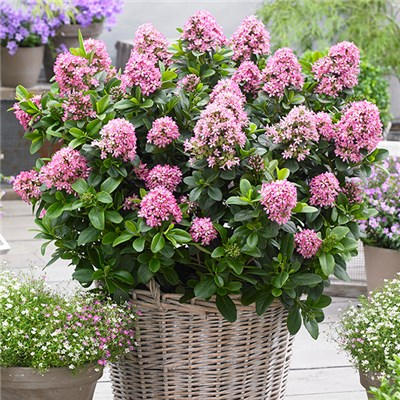 Escallonia Pink Elle 2L Pot Hardy Patio Shrub
