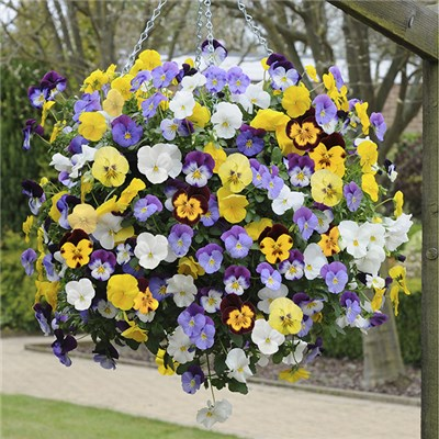 Trailing Pansy Cool Wave New Mix Plug Plants (18 Pack)