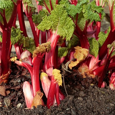 Rhubarb Apple Delight Plants (3 Pack) in 9cm Pots