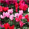 Colourful Cyclamen 10.5cm Pots x 6 Pack