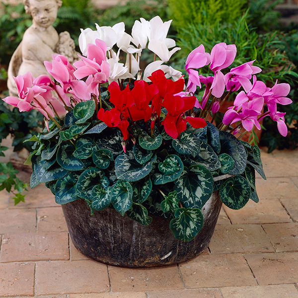 Colourful Cyclamen 10.5cm Pots (6 Pack) No Colour