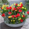 50 Red Tulip & 50 Narcissus Tete a Tete Mix