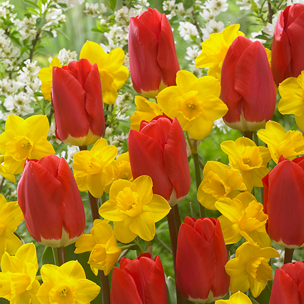 Red Tulip (50 Pack) & Narcissus Tete a Tete (50 Pack) Mix No Colour