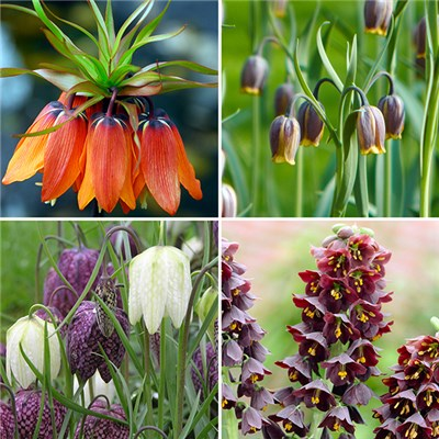 Complete Fritillary Bulb Collection (85 Pack)