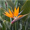 Strelitzia Regina Bird of Paradise 12cm Pot