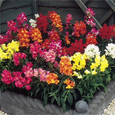 Autumn Flowering Snapdragon Collection 2L Pots (3 Pack)
