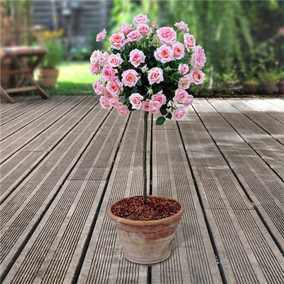Pink Patio Standard Roses in 5L Pots (Pair)