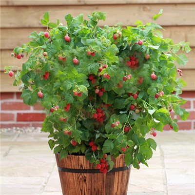 Patio Raspberry 'Ruby Beauty' 2L Pot (Twin Pack)