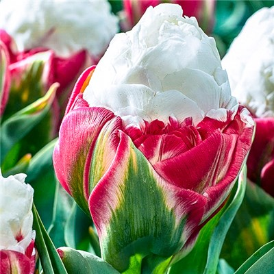 Premium Tulip 'Ice Cream' Bulbs (10 Pack)