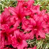 Rhododendron Bollywood 3L