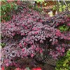 Loropetalum Black Pearl 2L