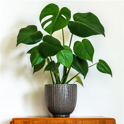 Monstera Deliciosa 'Swiss Cheese' 14cm Pot