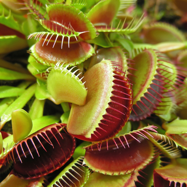 Dionaea Muscipula Jumbo (Venus Fly Trap) 12cm No Colour