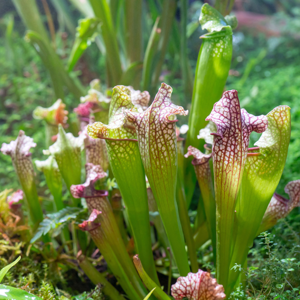 Carnivorous Plant Mix 5cm (6 Pack) No Colour