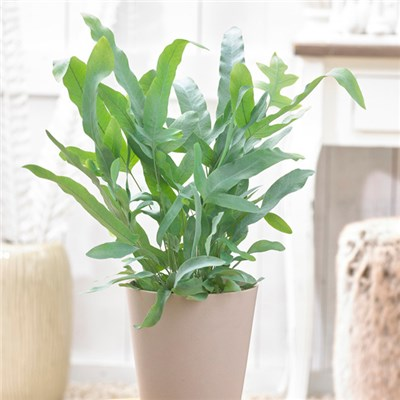 Phlebodium Blue Star (Bears Paw Fern) 12cm Pot