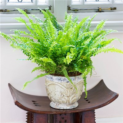 Nephrolepis Green Moment 'Boston Fern' 12cm Pot