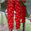Pair of Redcurrant Rovada Plants in 2L pot