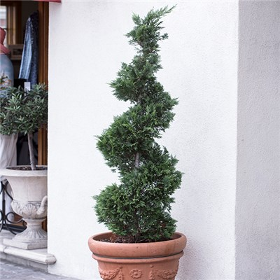 Evergreen Topiary 'Thuja Spiral' 1m Tall