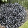 Ophiopogon (Black Dragon Grass) 3 plants in 9cm pots