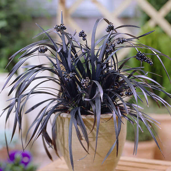 Ophiopogon 'Black Dragon Grass' Plants in 9cm Pots (3 Pack) No Colour
