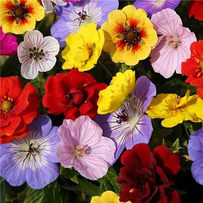 Geranium & Potentilla Colour Festival Bare Root Mix (6 Pack)