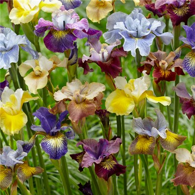 Iris Sibirica (Flag Iris) Peacock Bare Root Mix (5 Pack)