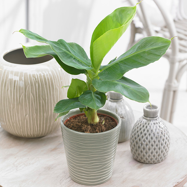 Indoor Banana Plants 60cm Tall (3 Pack) No Colour
