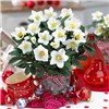 Pair Christmas Hellebores Rose with Silver Planters