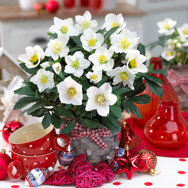 Christmas Hellebores Rose with Silver Planters (Pair) No Colour