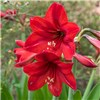 Set of 3 Red Amaryllis Bulbs