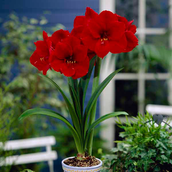 Red Amaryllis Bulbs (3 Pack) No Colour