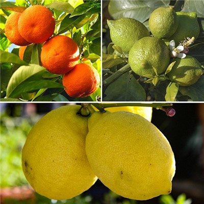 Citrus Grove Collection with Orange, Lemon & Lime 9cm Pots