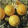 Citrus Grove Collection - Orange, Lemon & Lime 9cm Pot
