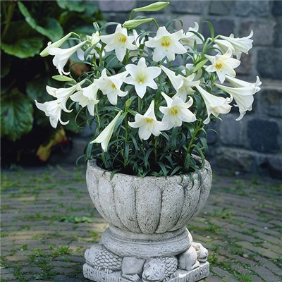 Fragrant Longiflorum Lily 'White Heaven' Bulbs (20 Pack)
